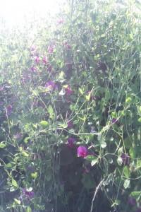 sweet pea bush